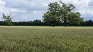 Alberi di Vigatto terreno agricolo
